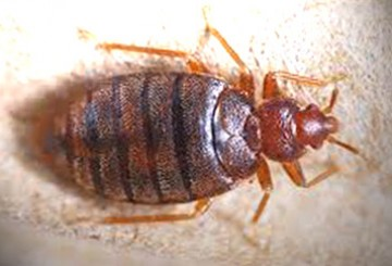 What do bed bug bites look like and how to treat